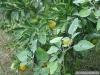 068-Oranges