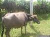 090-Bufflonne