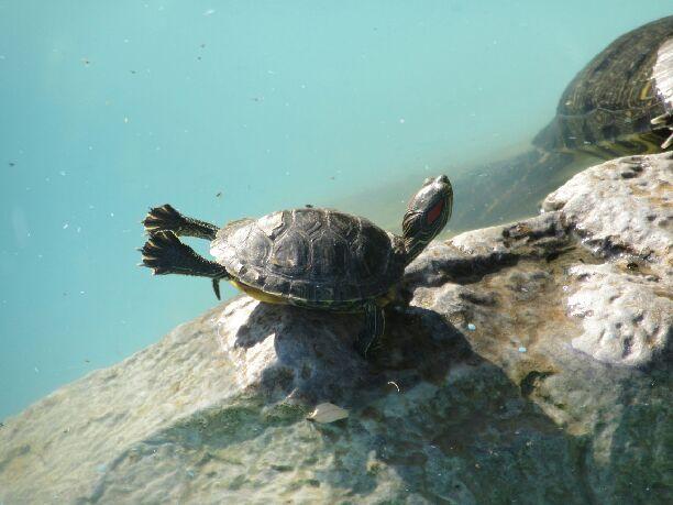 Avez-Vous déjà vu une tortue bronzer ? moi oui :)